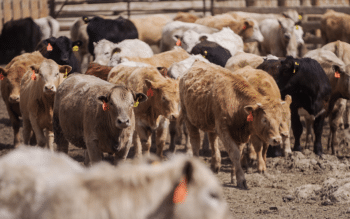 A herd of cattle near EarthRenew's Strathmore Facility