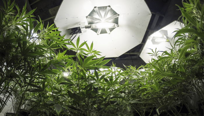 Marijuana growing capacity in Canada